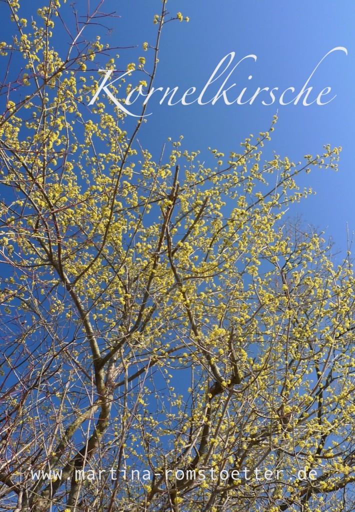 Kornelkirsche_P1210325 001