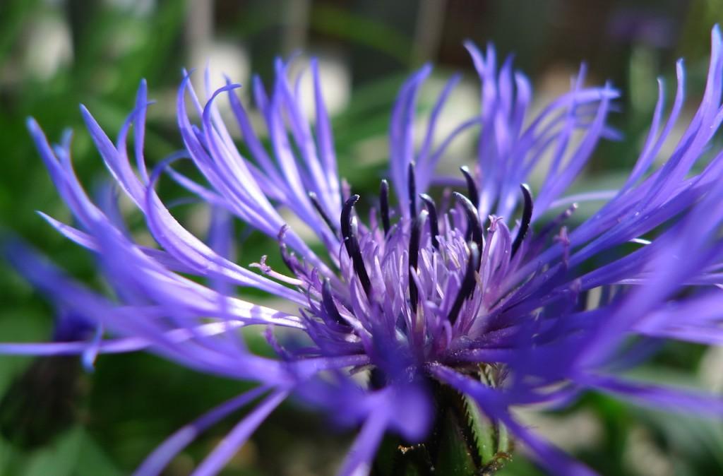 Naturgarten_Bergflockenblume