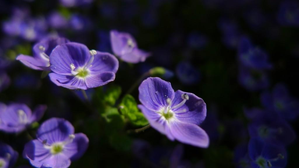 Naturgarten_Ehrenpreis