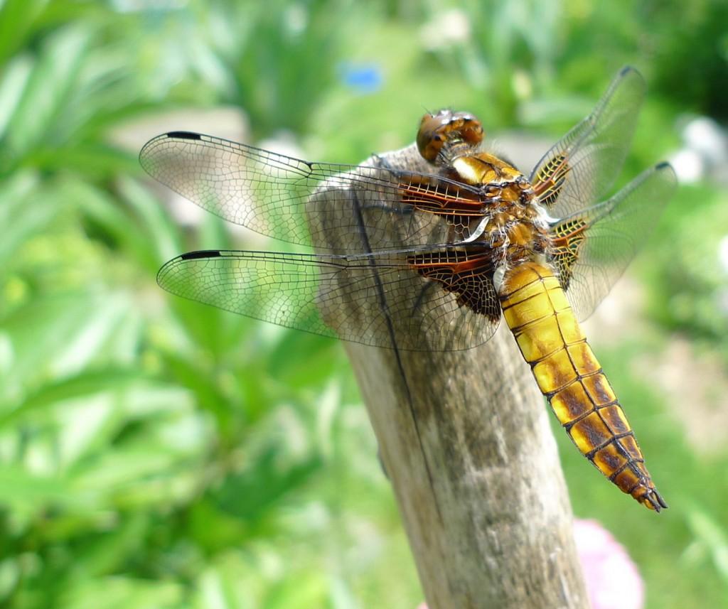 Naturgarten_Libelle